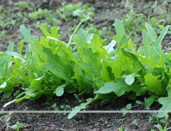 Here is an oak-shaped, semi-crisp leaf lettuce called Italienischer, one of our family favorites.