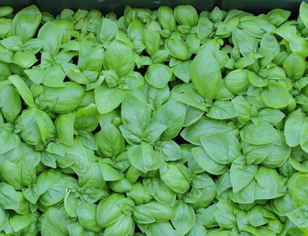 Young basil growing in Earth Boxes