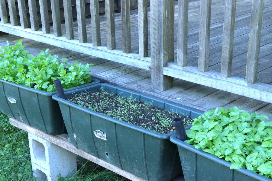 Three containers of herbs: cilantro, dill, basil