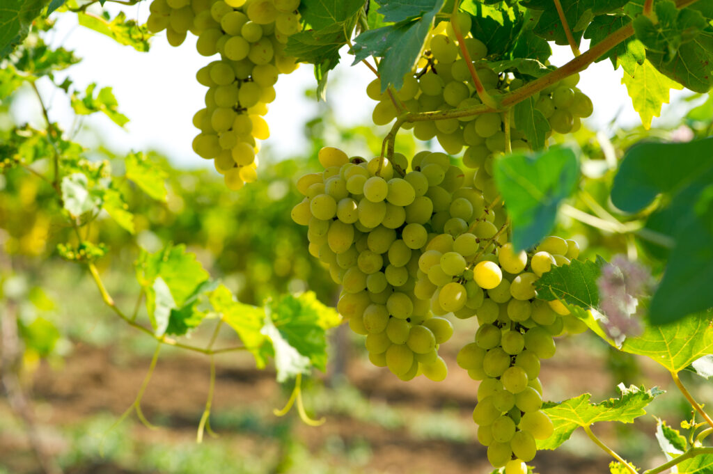 White grapes hanging from grape vines