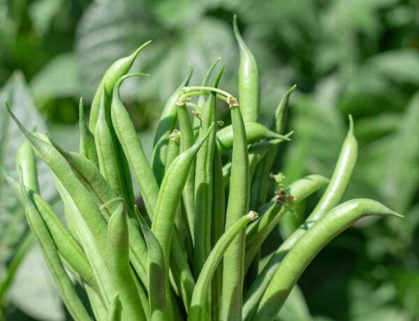 Harvesting fresh garden green beans