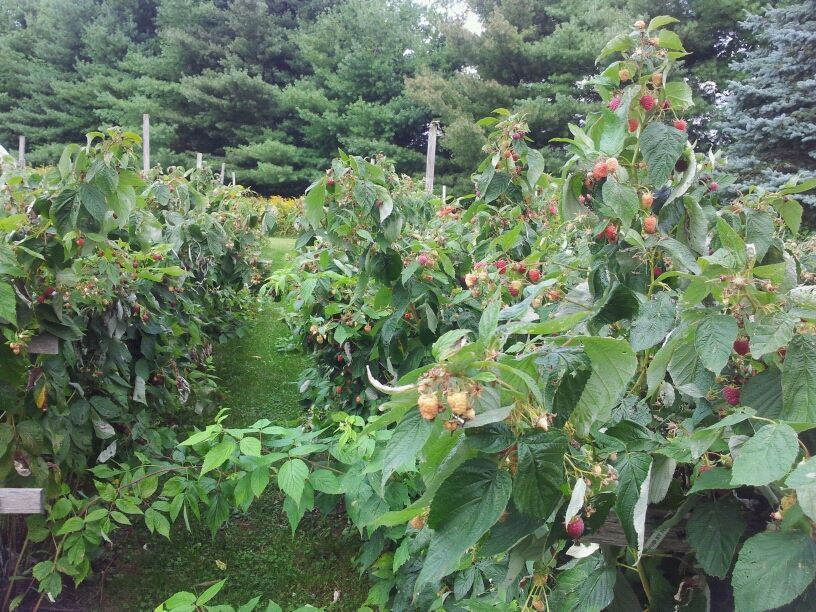 View of the DeLorenzo's raspberry garden
