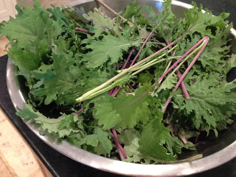 Fresh picked red Russian kale in a large stainless steel bowl