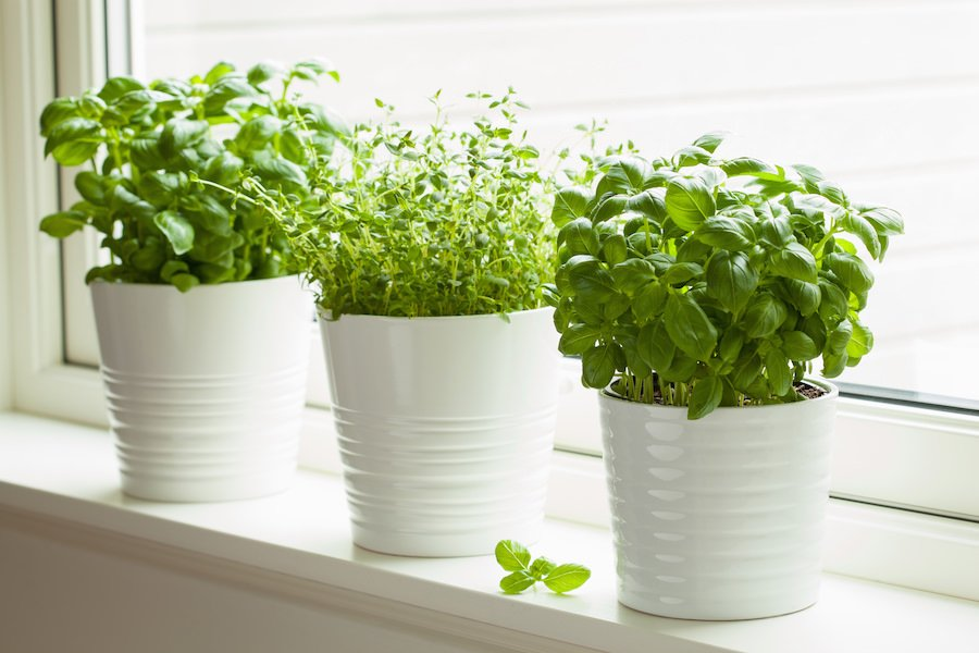 Fresh basil and thyme growing in pots on a windowsill