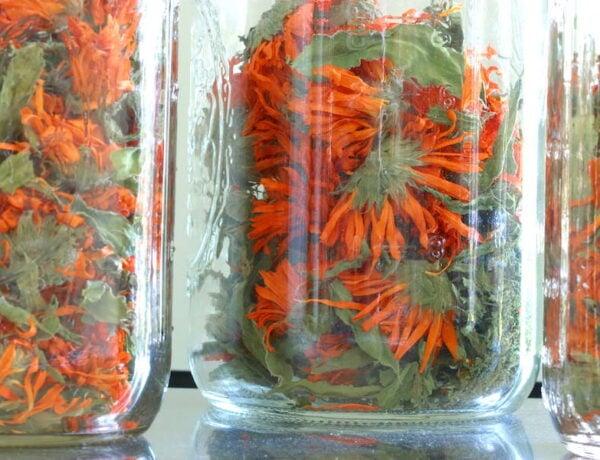 Dried calendula blossoms and leaves in three mason jars